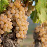 La producción de uva crece en la DO Terra Alta